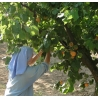 Confiture d'abricots, 430 gr de Confitures & Miels